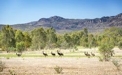 Wild emu birds in the beautiful landscape of Victoria's Grampians National Park