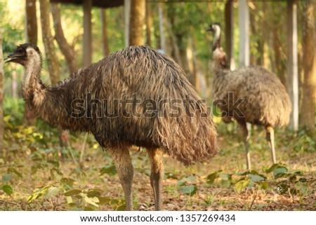 Wild Emus Bird in Australia