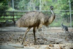 Wild Emus only exist in Australia