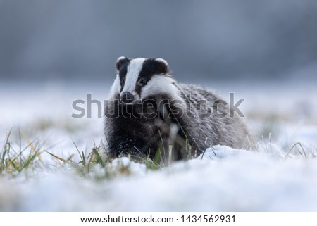 wild european badger in snow with winter forest in background