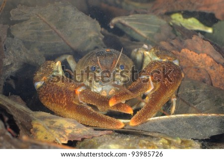 wild European freshwater crayfish (Austropotamobius pallipes) in his habitat.  Underwater shot
