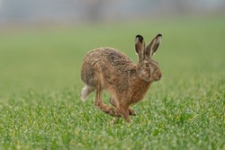 Wild European Hare ( Lepus Europaeus ) Close-Up On Green Background