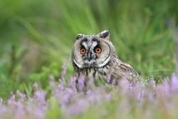 Wild European Long eared Owl, Asio otus, sitting on the ground. Wildlife scene from nature.