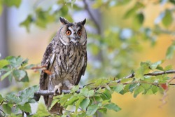 Wild European Long eared Owl Asio otus, sitting onbranch. Wildlife scene from nature.