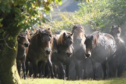 Wild Exmoor ponies herded together for annual gather. Ponies steaming in sunlight.
