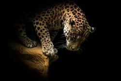 WILD FELINE ANIMAL JAGUAR PANTER LEOPARD SHOW YOUR BEAUTY IN THE DARK