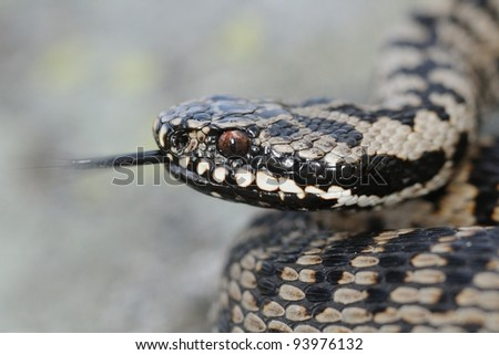 Wild female adder portrait with forked tongue. Vipera berus. Lombardy Alps, Italy