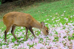Wild female hog deer eating flowers on green field.