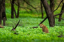 Wild female leopard or panther in natural green background during  monsoon season safari in forest - panthera pardus