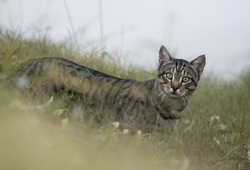 Wild feral cat on the banks of Cooper Creek, South Australia.