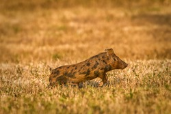 wild feral hog (Sus scrofa) running through meadow in Central Florida, brown spotted young juvenile, evening light dry meadow in winter
