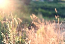Wild field of grass on sunset, soft sun rays, warm toning, lens flares, shallow DOF