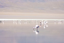 Wild flamingo fishing for food on a lake in Bolivia.