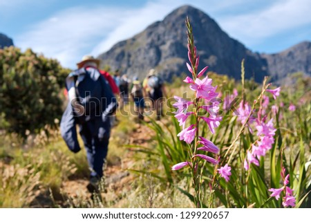 Wild flower and backpackers. Shot near Landdroskop, Hottentots-Holland Mountains nature reserve, Western Cape, South Africa.