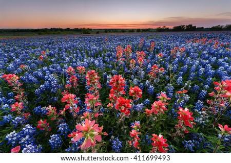 Wild flower Bluebonnet in Ennis City, Texas, USA, at sunset, dusk
