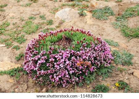 Wild flower in Highland of Ladakh, India