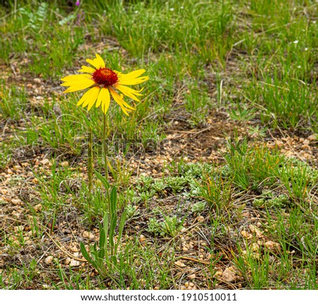 Wild flower isolated in a field. Photographed at Curt Gowdy State Park Imagine de stoc ©