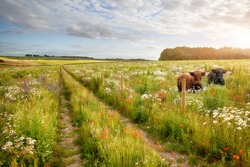 Wild flower meadow with two beautiful cows and a track and barbed wire fence. Natural landscape with beautiful flowers in long grass. Blue sky and clouds in summer time.