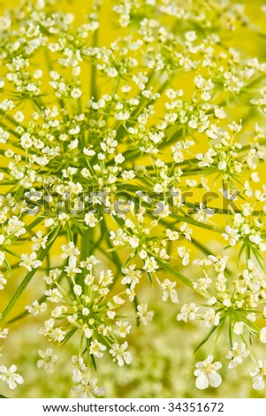 wild flower of Queens Lace in a filed