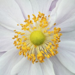 wild flower stamens covered with pollen
