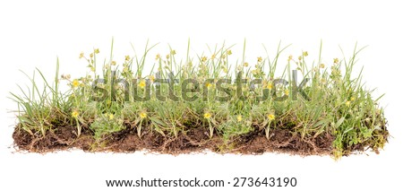 Wild flower, yellow flowers isolated on white #273643190