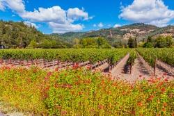 Wild Flowers along Vineyards in Napa Valley California USA