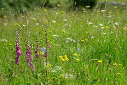 Wild flowers are left to bloom in meadow land on the floor of Langdale valley