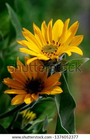 Wild Flowers Columbia Gorge #1376052377