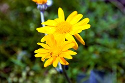 Wild flowers of Arnica Montana, or wolf's bane, leopard's bane, mountain tobacco or mountain arnica, a European flowering plant in the sunflower family, in a alpine meadow