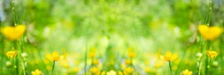 Wild flowers of buttercups and green grass in meadow in beauty in nature. Landscape summer or spring flowers wide format close up. Colorful beautiful summer flower background