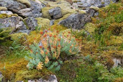 Wild flowers of Norway. Flora of Nordland region. Rhodiola rosea (commonly known as golden root, rose root, roseroot) medicinal plant.