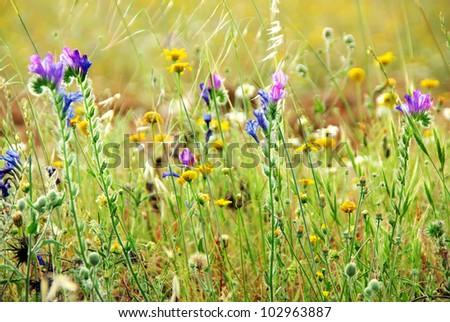 Wild flowers on portuguese field