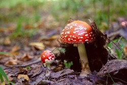 Wild Fly Agaric with red cup mushroom is beautiful mushroom but very toxic. Mushroom family of The Fly Agaric or Fly Amanita (Amanita muscaria) is now primarily famed for its hallucinogenic properties