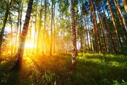 Wild forest with birches and pines at sunset light