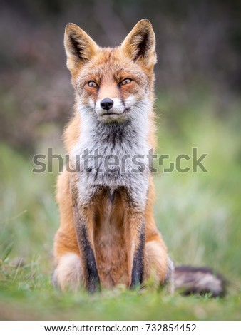 Wild Fox sitting in the grass