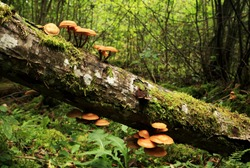 Wild fungi growing on an old tree trunk in Estonian boreal old-growth forest, Northern Europe.