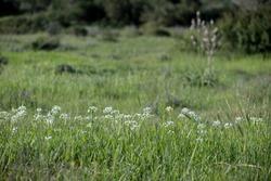 Wild garlic (Allium neapolitanum) on the xerothermic grassland in Cyprus