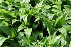 Wild garlic plant.