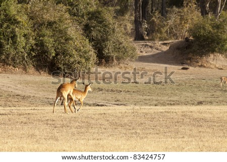 Wild gazelle walking in the bush in Africa