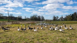 Wild Geese flock feeding at Stockholm region, Sweden. The Barnacle goose (Branta leucopsis) belongs to the genus Branta of black geese. Wild birds on Swedish countryside nature at spring April day.