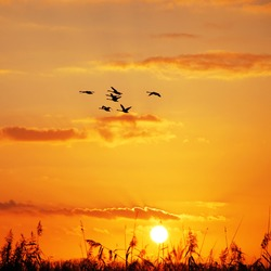 wild geese flying in the sky at sunset