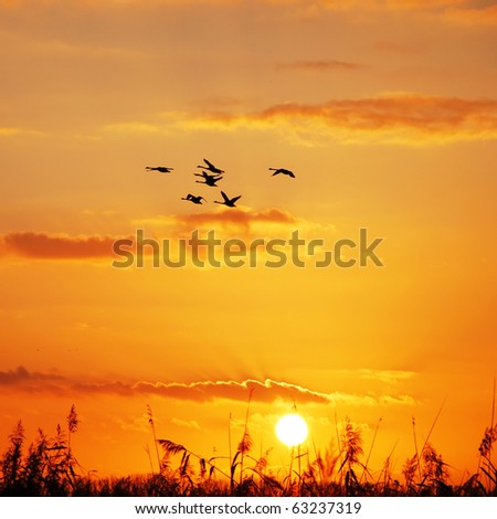 wild geese flying in the sky at sunset #63237319