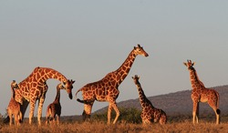 Wild Giraffes - adults and young - in Kenya, East Africa