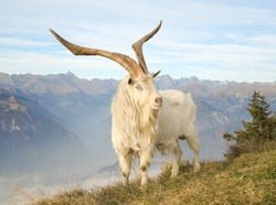 Wild goat grazing in the meadows on the Italian Alps. Mountain natural environment