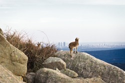 Wild goat looking to a city skyline