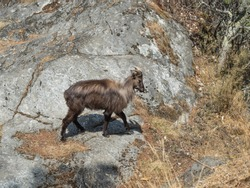 Wild goat on a rock in Khumbu region of eastern Nepal.