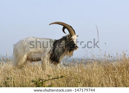 Wild Goat on Bean Down in Somerset