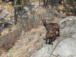 Wild goats on a rock in Khumbu region of eastern Nepal.