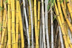 wild golden bamboo stems strand background texture