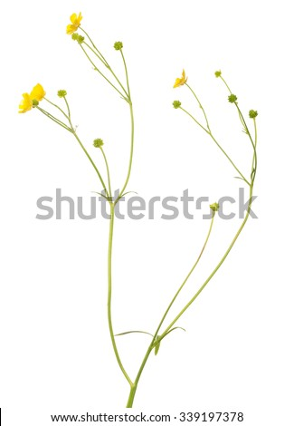 wild golden buttercup flower isolated on white background #339197378
